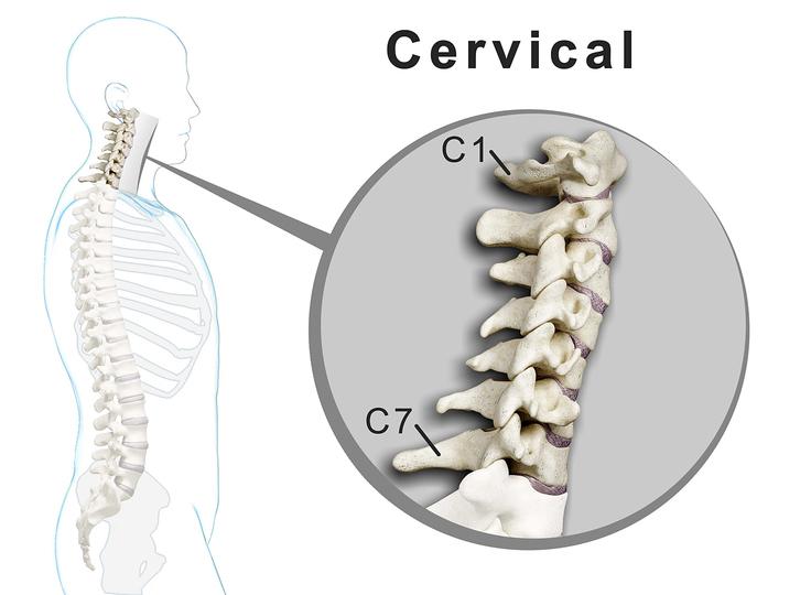 the cervical spine and the seven cervical vertebrae functions, Skeleton